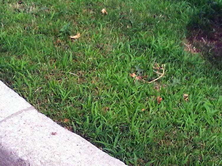 Crabgrass starting to Infest a Lawn