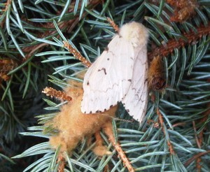 Gypsy Moth Female Laying Eggs