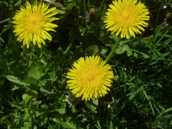 Dandelion- Weed Control