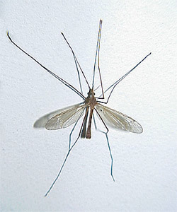 Crane Fly - Adult of Leatherjacket Lawn Care Pest